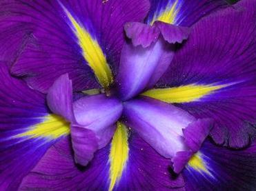 fiore-iris
