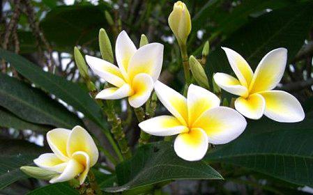 fiori-tiare