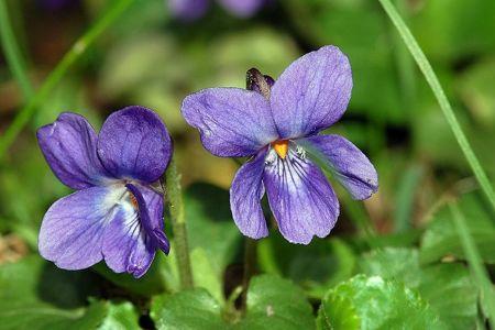 violetta-fiori